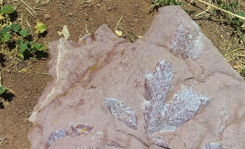 کشف فسیل های گیاهی چندمیلیون ساله در مشگین شهر