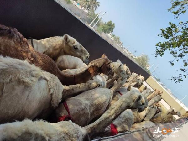 مسافران پرحاشیه گمرک؛ اینبار شتران قطری!